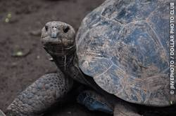 The Galapagos tortoise has adapted to each environment in which it lives on the Galapagos islands.