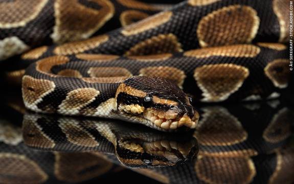 Snake Dream Meanings Psychologist World